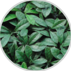 lauro-green